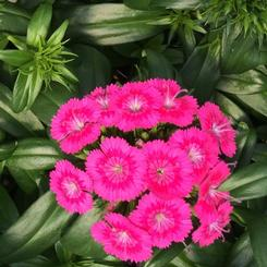 Dianthus barbatus interspecific