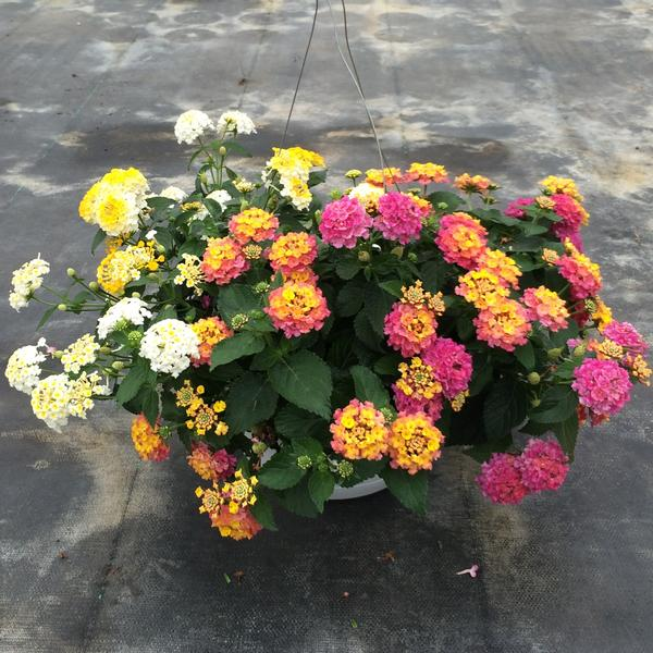 Lantana Hanging Basket Inspiration Lantana Camara Lantana Bandana From Meadowridge Inc