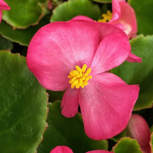 Begonia Semperflorens Wax Leaf Red And Green From Meadowridge Inc